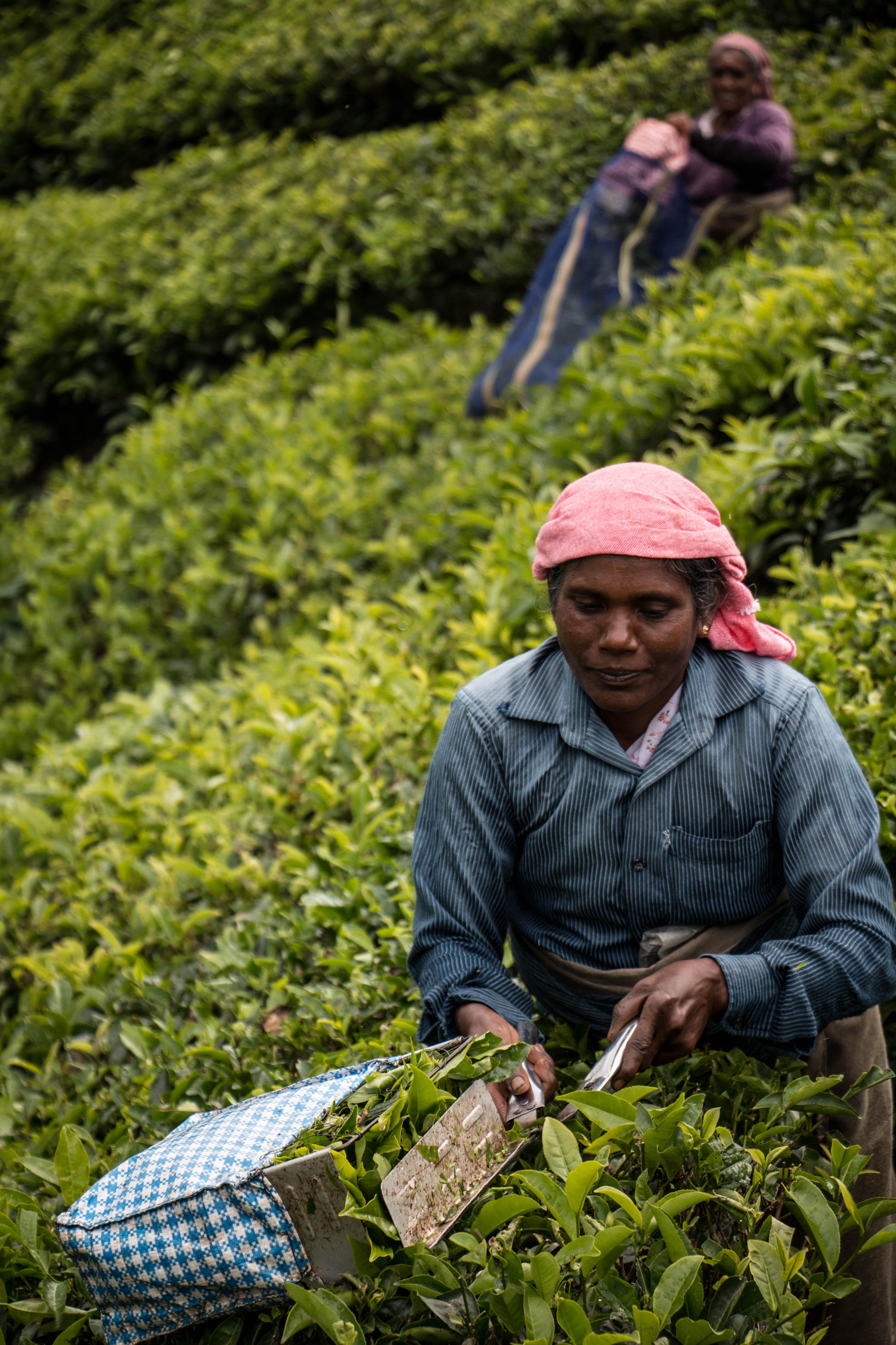 tea pickers kerala