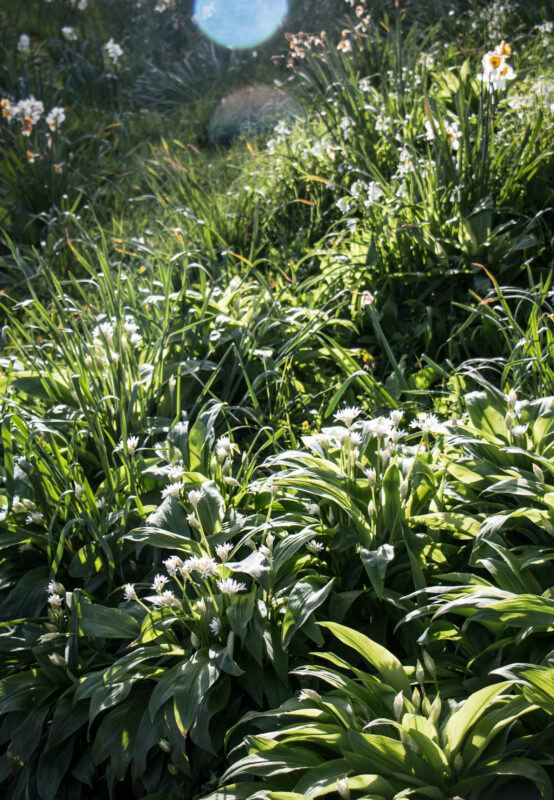 spring time wild garlic