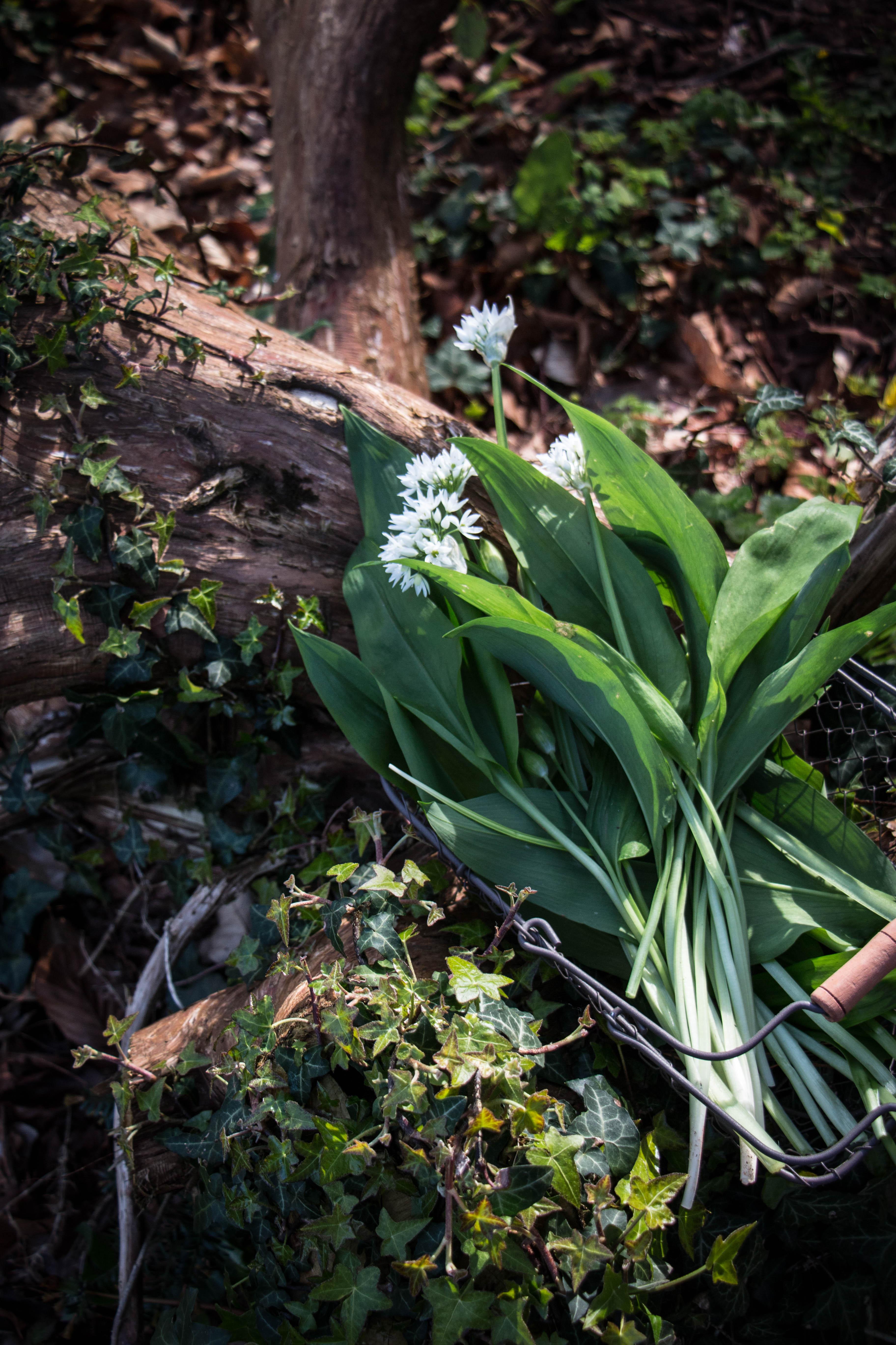 spring time wild garlic