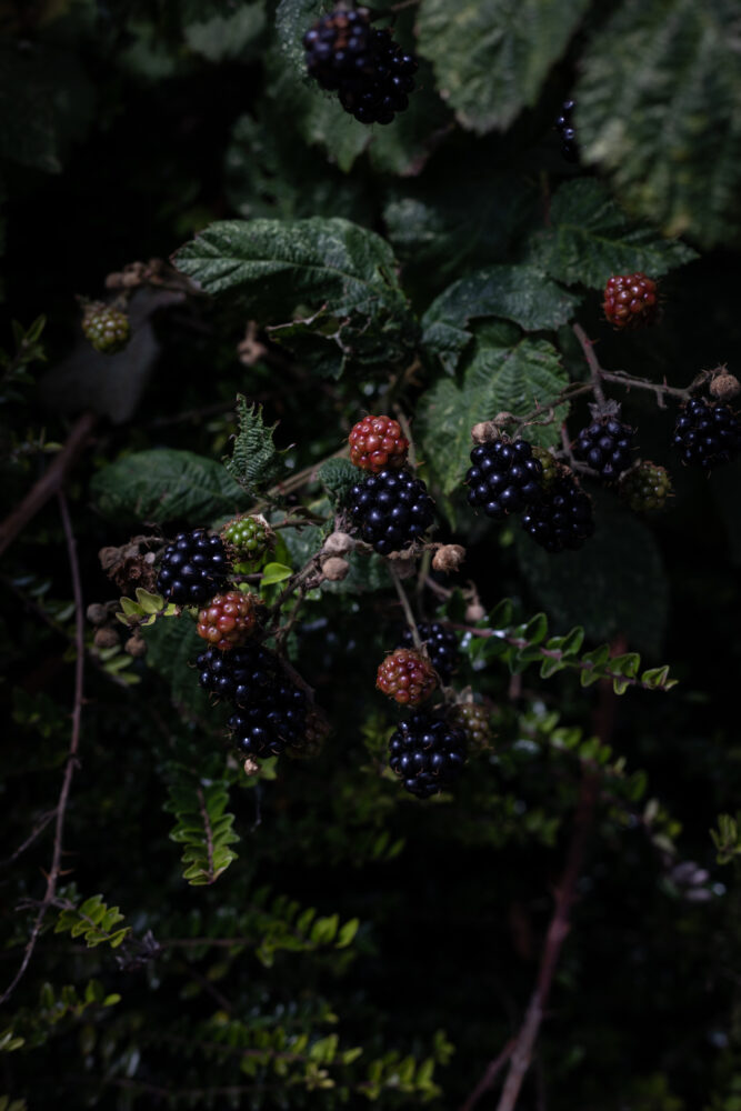 blackberry lavender frangipane cake